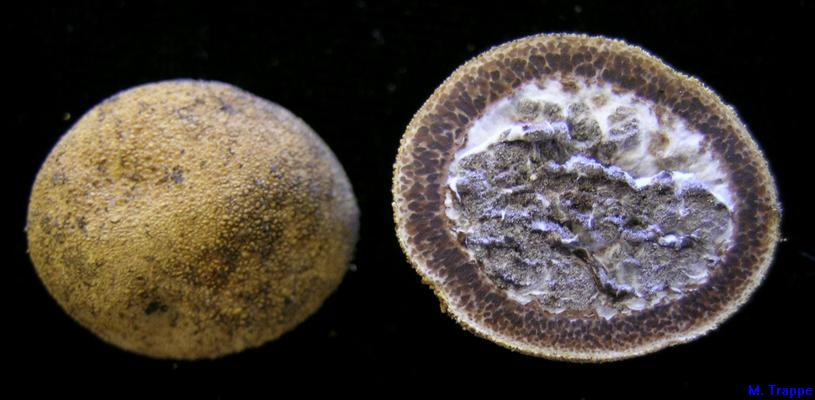 Elaphomyces muricatus