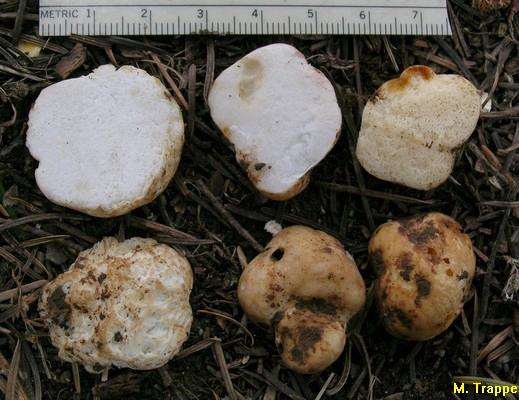 Gymnomyces brunnescens